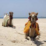Camels on the beach in Dubai, United Arab Emirates